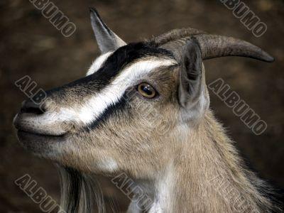 Portrait of a domestic goat