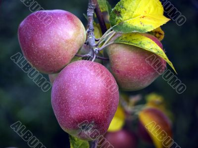 Apples in late summer