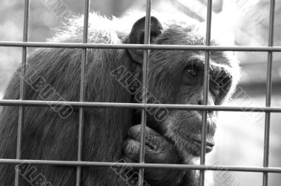 Monkey in a cage thinking