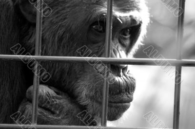Monkey behind bars
