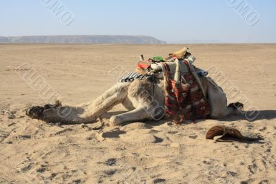 exhausted camel, recreation needs
