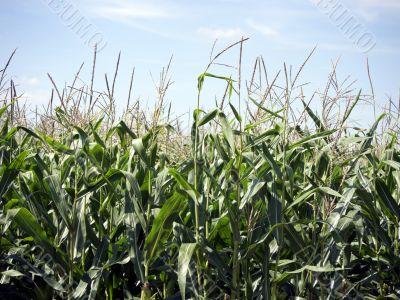 Corn nearly ripe