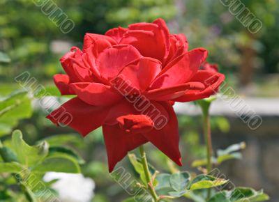 Red rose in backlight