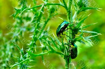 Rose Chafers