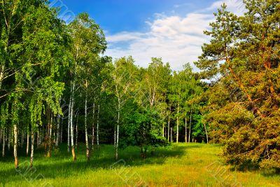 Birchwood and pine