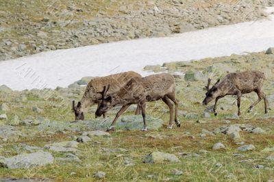 Reindeers in tundra