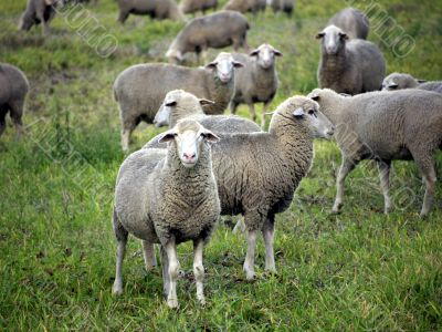 Sheeps on a pasture