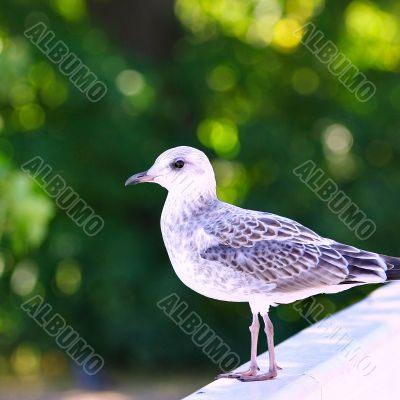 Seagull on green background