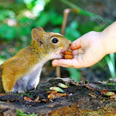 Red Squirrel Eating Peanuts From Child Hand