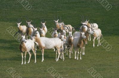 Herd of antelopes
