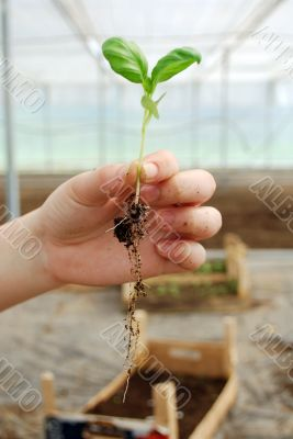 small sprout in the hand
