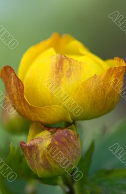 yellow exotic flower closeup