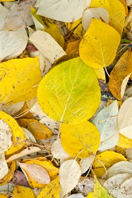 background of yellow and dry autumn leaves.