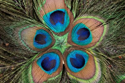 peacock`s feathers