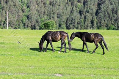 Horses on the meadow eat the grass