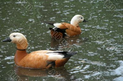 Two gold ducks on a pond