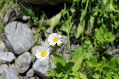 Wild camomille growing on the stone ground