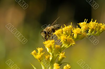 A bee collects nectar