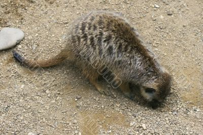 Meerkat digging a hole
