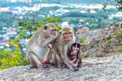 The monkeys family