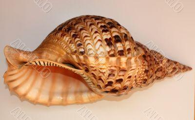 Ocean shell called Trumpet Triton