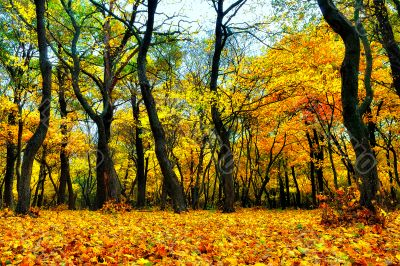 Yellow leaves and autumn forest
