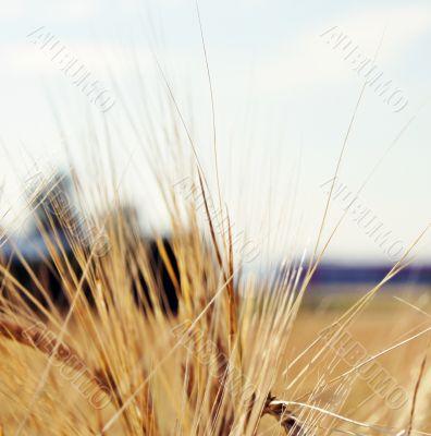 Grain and Maturity