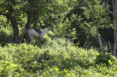 White horse riding in the green forest