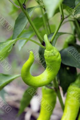 Hot green pepper growing. A new harvest