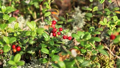 Forest cranberries in nature
