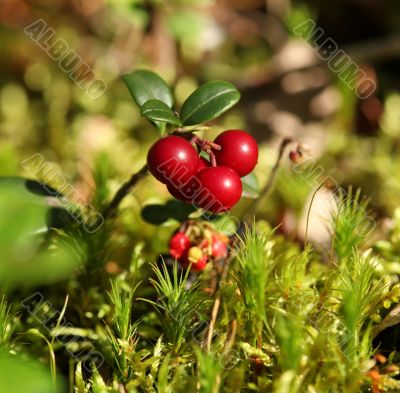 red fruit Forest cranberries in nature