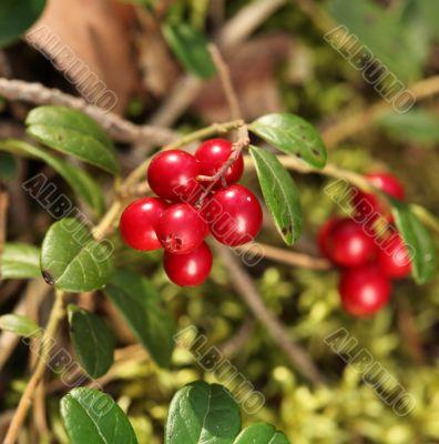 twig cranberries