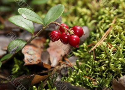 cranberries in nature