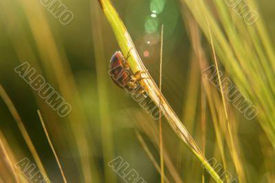 ladybugin the backlight