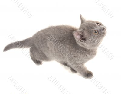 Grey kitten on white background
