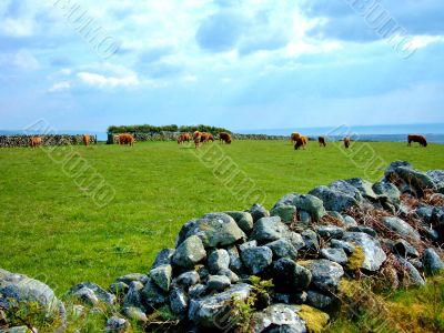 Stone Wall And Cows