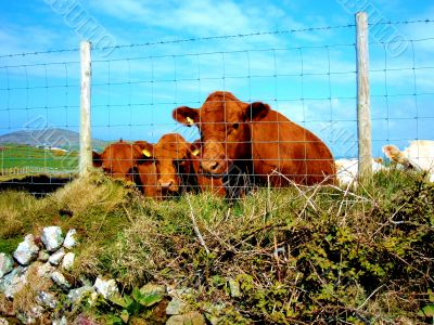 Brown Cows By Fence