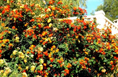 Orange And Red Flowers From Spain