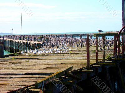 Bird Invasion Of Pier