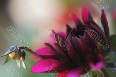dahlia burgundy with little bud