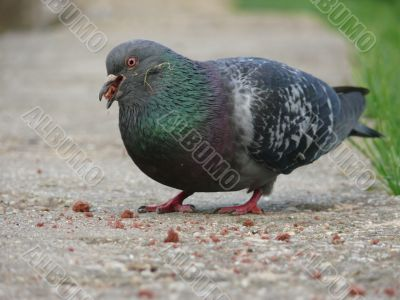 Eating pigeon