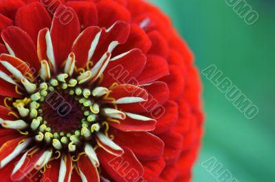 Red blossom of a Zinnia