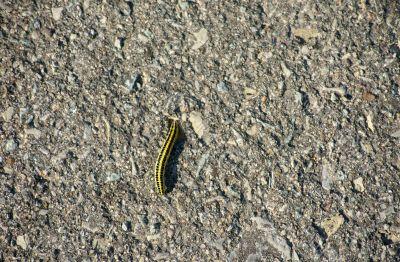 Caterpillar on a sidewalk