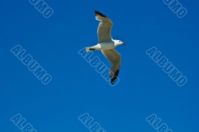 Möve am blauen Himmel, sea gull