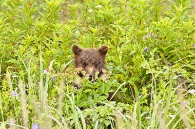 hiding cub