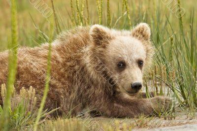 bear cub in grass