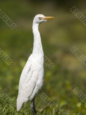 great egret in grassland