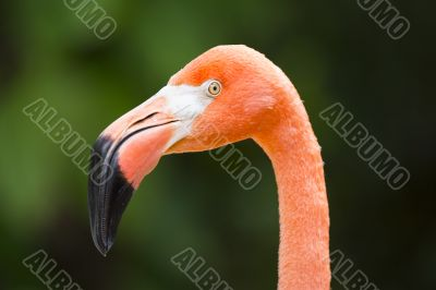 head of flamingo