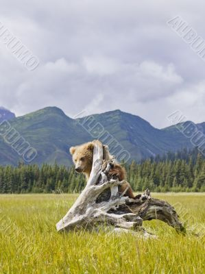 bear hanging off tree