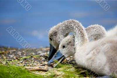 Baby Swans Eating Lunch